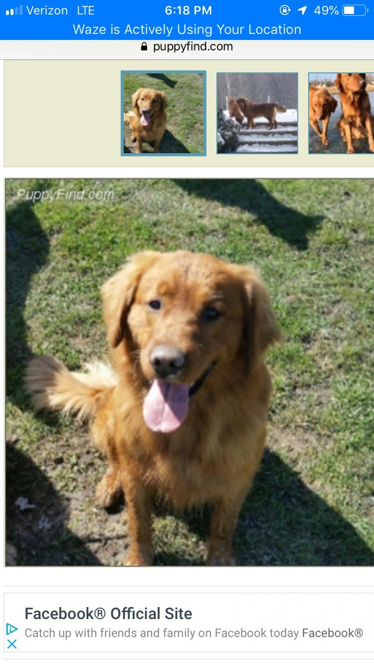Dayspring Golden Retriever Puppies Due in FALL, 2019 (Miss